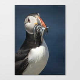 Puffin on the rocks with a beakful of fish. Canvas Print