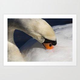The Preening Swan Art Print