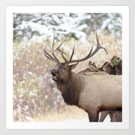 Watercolor Elk Bull 36, Estes Park, Colorado, Hola! Art Print