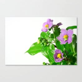 Blooming persian violet Canvas Print