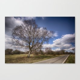 Birch On The Common Canvas Print