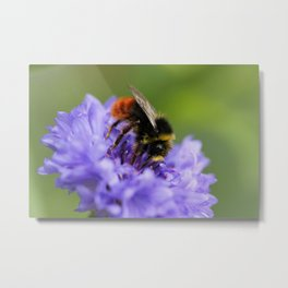 Double Blue Cornflower with Guest Metal Print