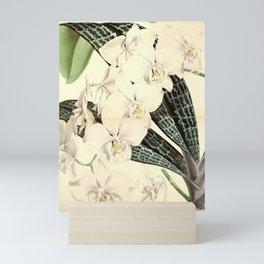 Flower 5530 phalaenopsis schilleriana Schiller s Phalaenopsis1 Mini Art Print