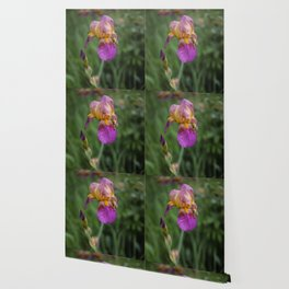 Purple and Yellow Bearded Iris Flowers Blooming in a Spring Garden 1 Wallpaper