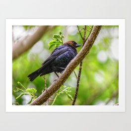 Brown Headed Cowbird Art Print