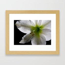 Amarylis Framed Art Print