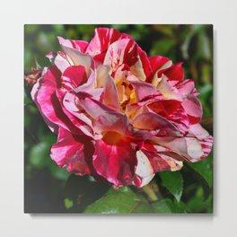 Portland Rose Painted Metal Print