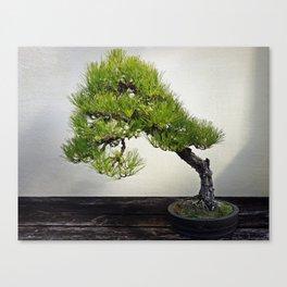 Japanese Black Pine Bonsai Canvas Print