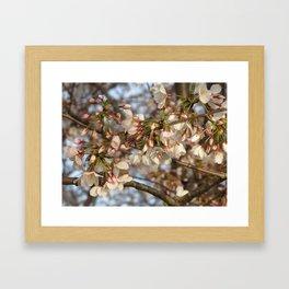 D.C. Sakura Framed Art Print
