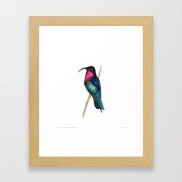 Purple-throated Carib Framed Art Print