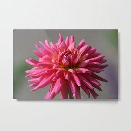 Colorful Dahlia Flower Bloom Metal Print