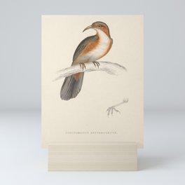 Rusty-Cheeked Scimitar Babbler9 Mini Art Print