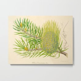 Abies bracteata Plant Vintage Botanical Evergreen Scientific Illustration Metal Print