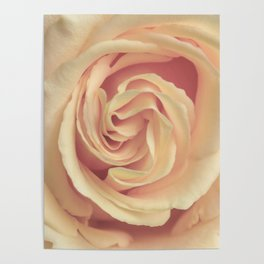 pale yellow rose Poster