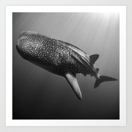 Whale shark black white Art Print