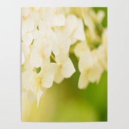 White Hydrangea On A Green Background #decor #buyart #society6 Poster