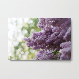 Violet Syringa vulgaris lila Metal Print
