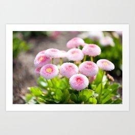 Bellis perennis pomponette flowers Art Print