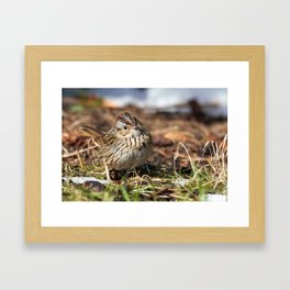 Staredown with a Lincoln's Sparrow Framed Art Print