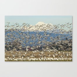 Snow Geese Obscuring Mt. Baker Canvas Print