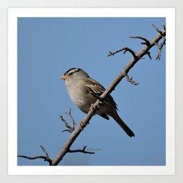 A White-Crowned Sparrow Eyes the Botanic Garden Art Print