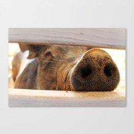 Pig Snout Canvas Print