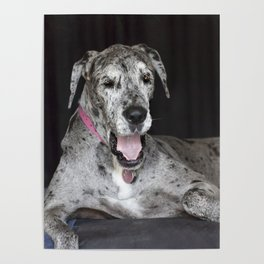 Happy Great Dane Poster
