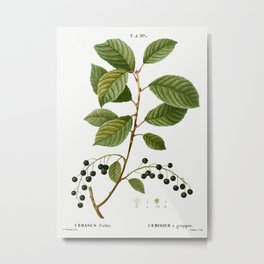 Bird cherry, Cerasus padus from Traité des Arbres et Arbustes que l'on cultive en France en pleine t Metal Print