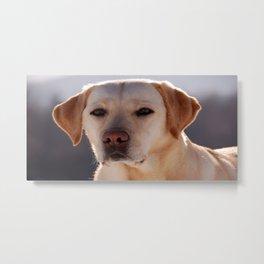 Portrait of A Golden Labrador Retriever Metal Print