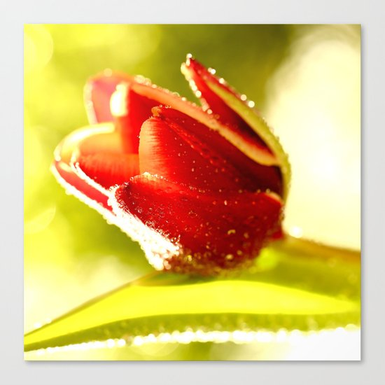 Glowing Red Tulip  Canvas Print
