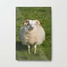 Sheep Wool Metal Print