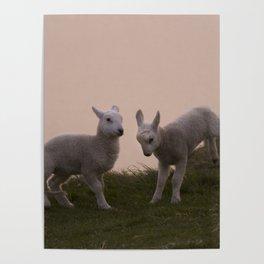 Playful little lambs Poster