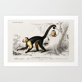 Vintage Print - Universal Dictionary of Natural History (1849) - Capuchin Monkeys Art Print
