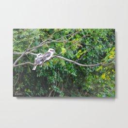 Kookaburras Metal Print