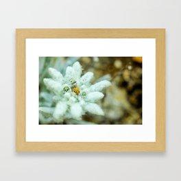 The Heart of Pirin - Leontopodium alpinum Framed Art Print