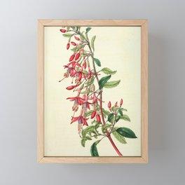 Flower 1805 fuchsia discolor Port Famine Fuchsia19 Framed Mini Art Print