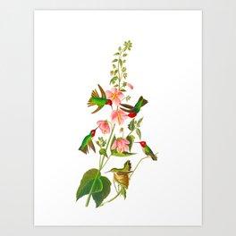 Columbian Hummingbird Art Print