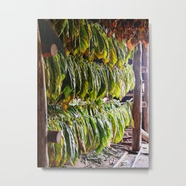 Drying Tobacco Leaves Hanging in a Barn in Cuba Metal Print