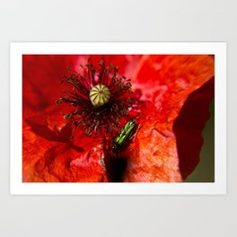 Little green insect while he's walking on a poppy Art Print