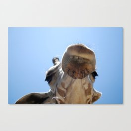 Giraffe with drool Canvas Print