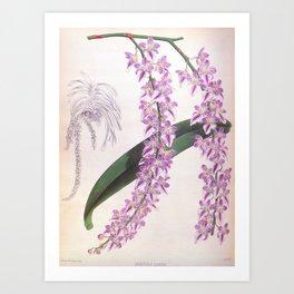 Aerides Lobbii Vintage Lindenia Orchid Art Print