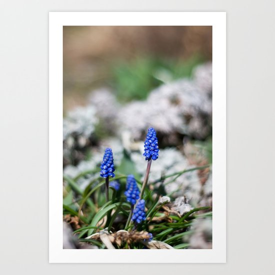 Grape Hyacinth III Art Print