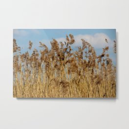 Lenz gently blowing the stalks Metal Print