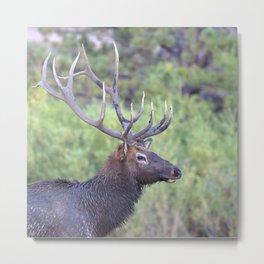 Watercolor Elk Bull 44, Estes Park, Colorado, Swamp Thing Metal Print