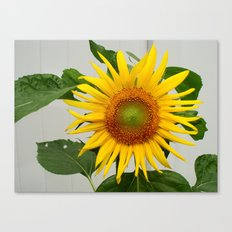 Sunflower Helianthis Occidentalis Canvas Print