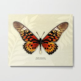 Butterfly14_Papilio Antimachus • male1 Metal Print