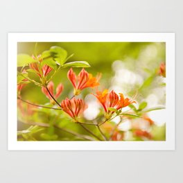 Azalea Glowing Embers orange flowers Art Print
