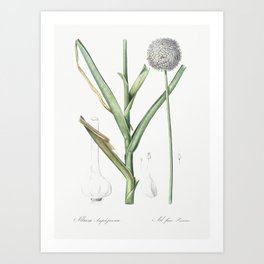 Broadleaf wild leek illustration from Les liliacées (1805) by Pierre-Joseph Redouté. Art Print