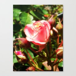 Natural Beauty • Point Defiance Rose Gardens • Tacoma, WA Canvas Print