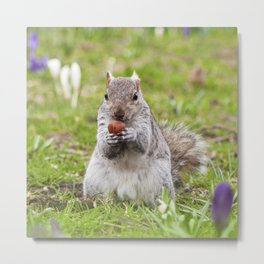 Gray squirrel eating a hazelnut Metal Print